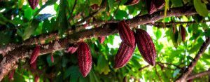 chocolate ecologico gourmet comercio justo