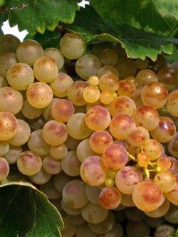 Vinos Blancos Gourmet